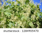 thick thickets of echinocystis...   Shutterstock . vector #1284905470