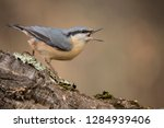 eurasian nuthatch in nature | Shutterstock . vector #1284939406