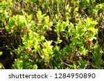 blueberries flowers in the... | Shutterstock . vector #1284950890