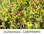 blueberries flowers in the... | Shutterstock . vector #1284950893