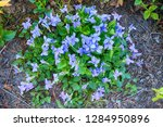 violets flowers as very nice... | Shutterstock . vector #1284950896
