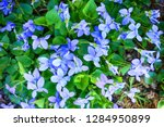 violets flowers as very nice... | Shutterstock . vector #1284950899