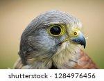 head and shoulders of a kestrel ... | Shutterstock . vector #1284976456