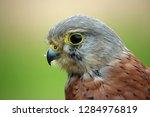 head and shoulders of a kestrel ... | Shutterstock . vector #1284976819