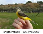 grey wagtail  motacilla cinerea ... | Shutterstock . vector #1284989059