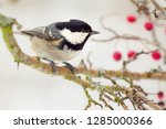 one coal tit  periparus ater ... | Shutterstock . vector #1285000366