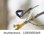 one coal tit  periparus ater ... | Shutterstock . vector #1285000369