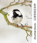 one coal tit  periparus ater ... | Shutterstock . vector #1285002349