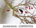 one marsh tit  poecile... | Shutterstock . vector #1285005526
