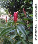 Small photo of Crape ginger, Rhizome used to boil with drinking water as an astringent inside