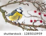 one eurasian blue tit ... | Shutterstock . vector #1285010959