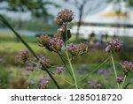 purpletop vervain tall...   Shutterstock . vector #1285018720