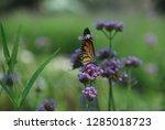 purpletop vervain tall...   Shutterstock . vector #1285018723