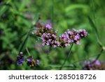 purpletop vervain tall...   Shutterstock . vector #1285018726