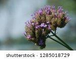 purpletop vervain tall...   Shutterstock . vector #1285018729