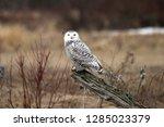 snowy owl on slanted fencepost  | Shutterstock . vector #1285023379