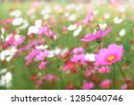 pink cosmos flowers with in... | Shutterstock . vector #1285040746