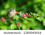young blue tit sitting on the... | Shutterstock . vector #1285043416