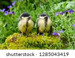 two young great tits sitting on ... | Shutterstock . vector #1285043419