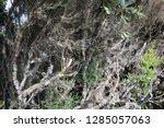 moss in subtropical rainforest... | Shutterstock . vector #1285057063