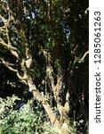 trees in subtropical rainforest ... | Shutterstock . vector #1285061263