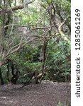 trees in subtropical rainforest ... | Shutterstock . vector #1285061269