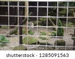 big wild cat wandering around... | Shutterstock . vector #1285091563