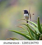 abyssian wheatear  oenanthe... | Shutterstock . vector #1285134793
