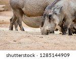 portrait of warthog | Shutterstock . vector #1285144909