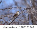 house sparrow resting on vines... | Shutterstock . vector #1285181563