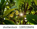 branch with growing limes... | Shutterstock . vector #1285228696