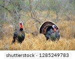 Rio Grande Wild Turkey ...