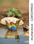 painted bunting  passerina... | Shutterstock . vector #1285249810