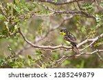 lesser goldfinch  spinus... | Shutterstock . vector #1285249879