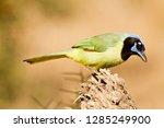 green jay  cyanocorax yncas  on ... | Shutterstock . vector #1285249900