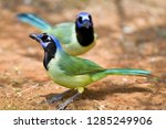 green jays  cyanocorax yncas ... | Shutterstock . vector #1285249906
