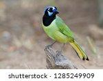 green jay  cyanocorax yncas  on ... | Shutterstock . vector #1285249909