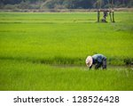 a farmer is planting young rice ... | Shutterstock . vector #128526428