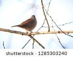 dunnock  prunella modularis ... | Shutterstock . vector #1285303240