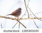 dunnock  prunella modularis ... | Shutterstock . vector #1285303243