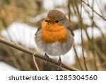 robin perched on a branch in... | Shutterstock . vector #1285304560