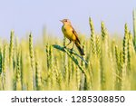 yellow wagtail sitting on ears... | Shutterstock . vector #1285308850