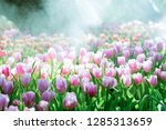 colorful of tulip flowers and... | Shutterstock . vector #1285313659