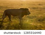 lion walking in the morning at...   Shutterstock . vector #1285316440