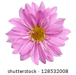 A Chrysanthemum Daisy Isolated...