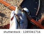 beautiful big sea fishes caught ...   Shutterstock . vector #1285361716