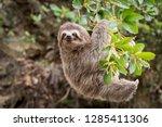 Common Sloth on jungle