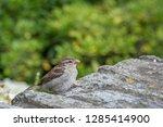 a female house sparrow  passer... | Shutterstock . vector #1285414900