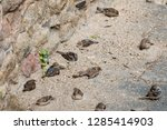 a group of house sparrows ... | Shutterstock . vector #1285414903