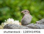 a female house sparrow  passer... | Shutterstock . vector #1285414906